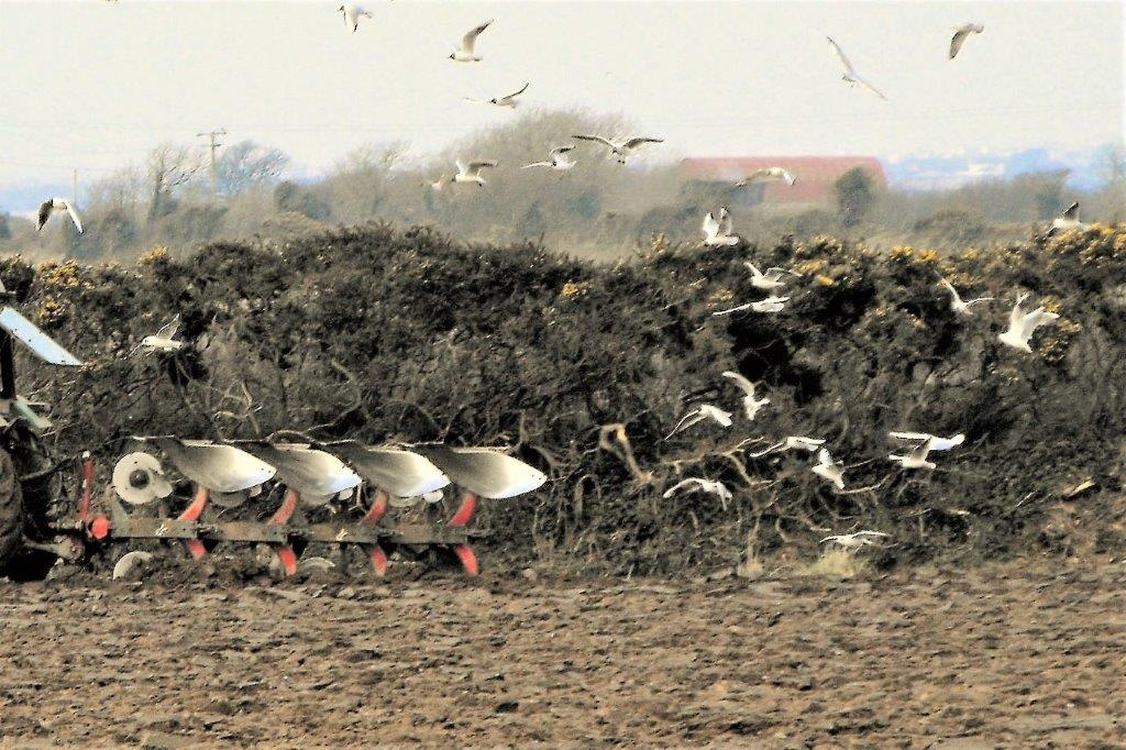 ploughing with seagulls